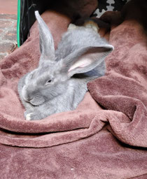 8 Week old Giamt Flemish Rabbit