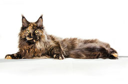 main_coon_2