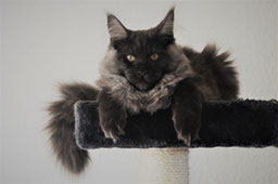 main_coon_3
